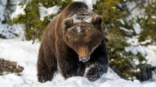Bieszczadzkie niedźwiedzie wybudziły się z zimowego snu