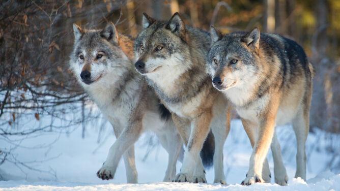 Wilki wracają do Holandii