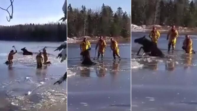 Łoś uwięziony w lodowej pułapce.<br /> Na pomoc ruszyli strażacy