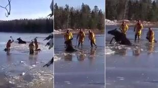 Łoś uwięziony w lodowej pułapce. Na pomoc ruszyli strażacy