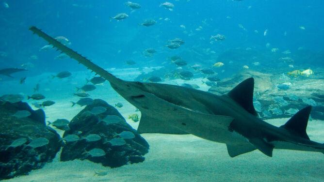 Jedne z najbardziej niezwykłych ryb na świecie na skraju wyginięcia