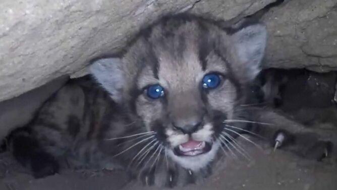 Niebieskie oczka wyłaniające się z ciemności. <br />Cztery młode pumy w ciasnej jaskini